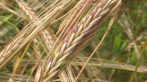 Characteristics of wheat and tares motorcycle review and galleries